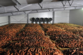 Моркву не бажано зберігати разом з буряками, і протипоказано – з капустою