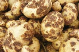 Більший уміст органіки в ґрунті зменшує ураження картоплі паршею