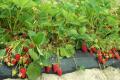 З посадженої в квітні суниці садової комерційний урожай почали збирати у липні