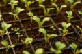 Вчені дали програму живлення розсади капусти