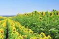 Фермерам нагадали про дотримання норм просторової ізоляції під час сівби