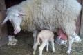 Собівартість овечого молока зросла на 50%