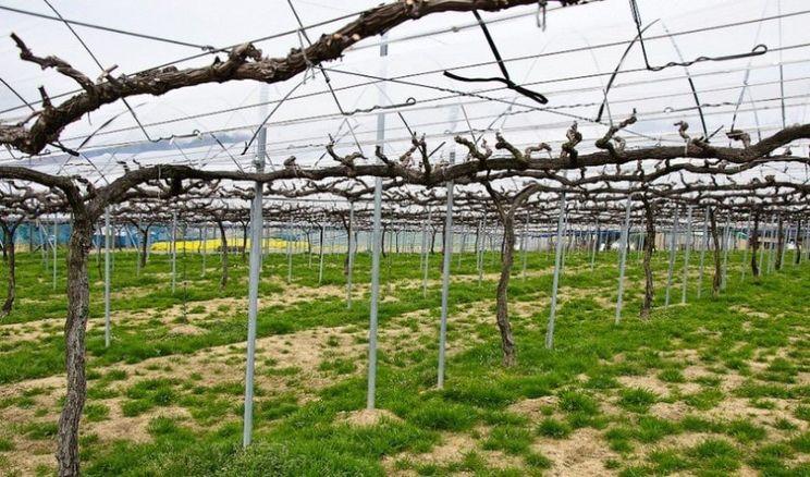 Стала відома найбільша стаття витрат при закладанні виноградника