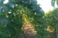 Вільне звисання однорічних пагонів винограду максимально скорочує людську роботу