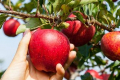 Азіати можуть замінити українців на збиранні фруктів у Польщі