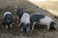 Німецька свиноферма змушена забити поголів'я через близькість до зони АЧС