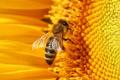 Як комахозапилення впливає на продуктивність гібридів соняшнику