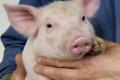 Утримання свиней без антибіотиків передбачає комплексний підхід