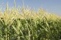 Солодку кукурудзу вирощуватимуть з мінімумом пестицидів