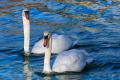 На Херсонщині зафіксовано загибель лебедів від грипу птиці