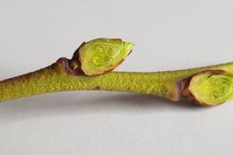 Стійкість рослин до приморозків залежить від вмісту спирту, цукрів та бактерій