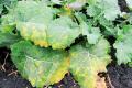 Посівам ріпаку на Черкащині загрожують пероноспороз і альтернаріоз