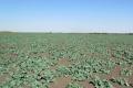 Понад 80% посівів озимого ріпаку на Донеччині у слабкому та зрідженому стані