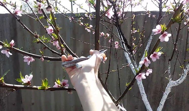 Персик обрізують у стадії рожевого бутона