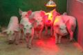 Диспепсія свиней розвивається стрімко, особливо у поросят