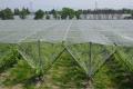 Фермерми поставили протиградову сітку, щоб захистити грона винограду від хвороб