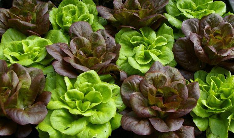 Завдяки якісним салатам та соцмережам фермери продовжили бізнес