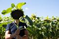 Загущення посівів соняшнику в посушливих регіонах негативно впливає на урожайність