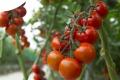 Виробники томатів переходять на вирощування смачніших плодів