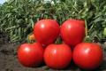 Чернігівські томати та перці конкурують з південними завдяки логістиці