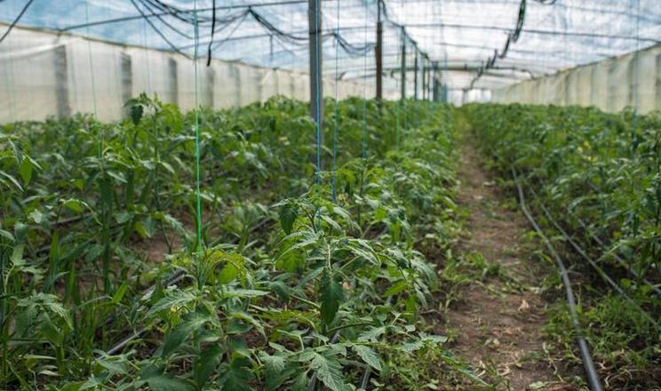 Тепличники Утконосівки намагаються виростити томати до масої появи шкідника