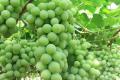 Селекція столового винограду спрямована на безнасінність, крупні ягоди та незвичний смак