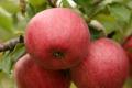 ФГ «Гадз» посадить 20 га яблунь сорту Гала з протиградовими конструкціями