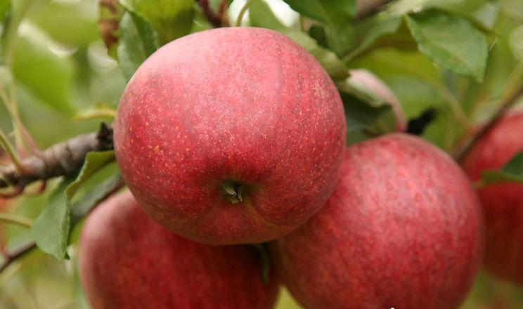 Ціна на яблука може бути невисокою, тому потрібна якість, – виробник