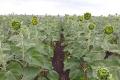 За дефіциту вологи густота посівів соняшнику майже не впливає на урожай, – думка