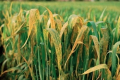 Посівам пшениці загрожують іржасті хвороби