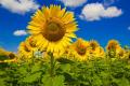 Vitagro Partner оголосив про акцію на насіння соняшнику