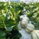 Тепле літо, технології та сорти дозволяють вирощувати диню в Бельгії