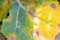 Хвороби озимого ріпаку уразили до 13% посівів культури