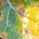 Висока вологість повітря спричинить розвиток фомозу на ріпаку, – науковець