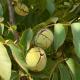 У США вивели ранній і смачний сорт волоського горіха Wolfskill