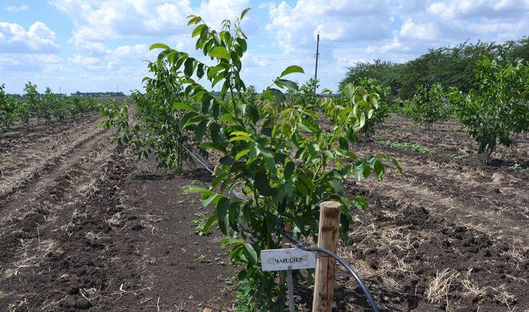 Живлення волоського горіха розраховують на основі аналізу грунту