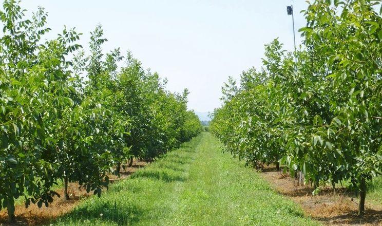 Для зменшення шкоди заморозків горіхи поливають та застосовують антистресант