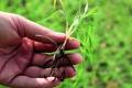 Стрес рослин загрожує втратами врожаю, – дослідження