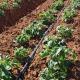 Крапельне зрошення не тільки дає воду картоплі, але й охолоджує місцевість