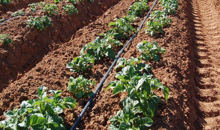 Спеціаліст порадив оптимальну схему висаджування картоплі