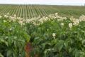 Високі врожаї картоплі в США можливі також завдяки системі моніторингу шкідників