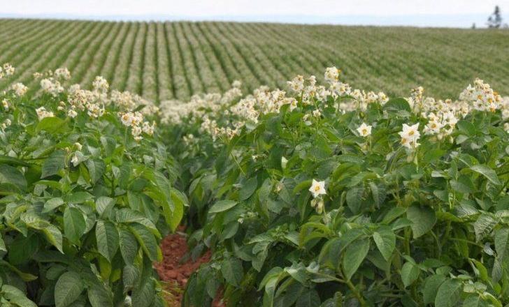 Розвиток органічного картоплярства покладався на HoReCa