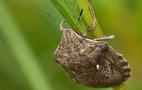 Клоп шкідлива черепашка починає заселяти посіви озимої пшениці на Одещині