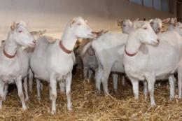 Для дезінфекції підстилки на козиній фермі використовують біопрепарати