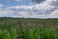 Застосування гуматів підвищує урожайність кукурудзи, - досвід