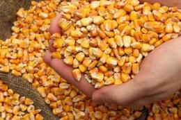 Експортні ціни на українську кукурудзу зростають