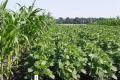 Названа економічна вигода від кулісно-смугових посівів