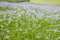Підприємство «Барбет» планує вирощувати льон і сафлор