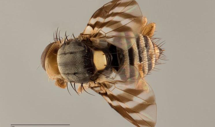 В Україні очікують появи нового шкідника — мухи вишневої східної