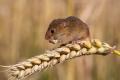 Які родентициди найефективніші у боротьбі з мишоподібними гризунам